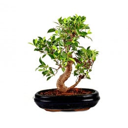 Bonsai Karma Plant