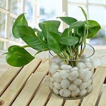 Money Plant Terrarium