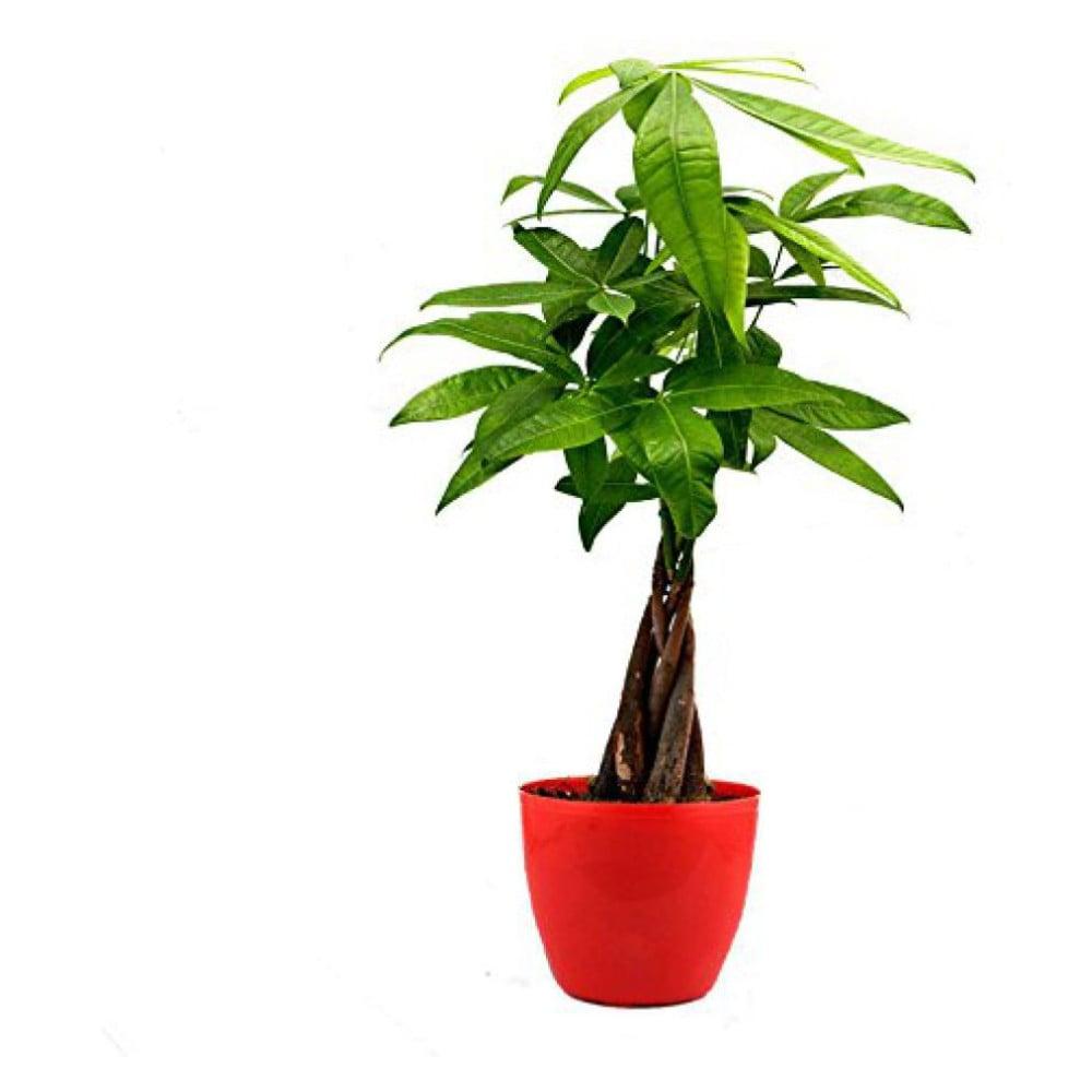 Sansevieria Plant Feng Shui pachira plant