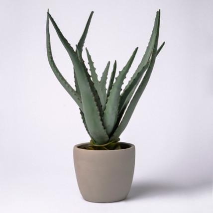 Soothing Aloe Vera Plant